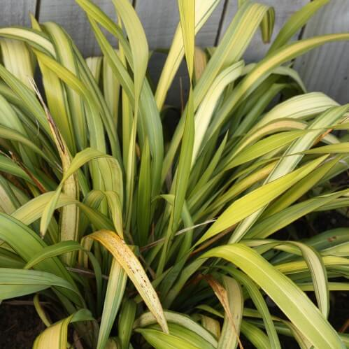 Phormium 'Yellow Wave'