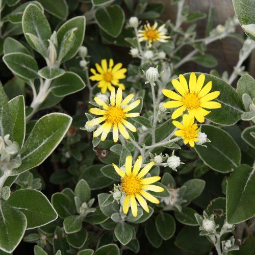Brachyglottis greyii 'Sunshine'