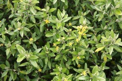 Corokia Geenty's Green