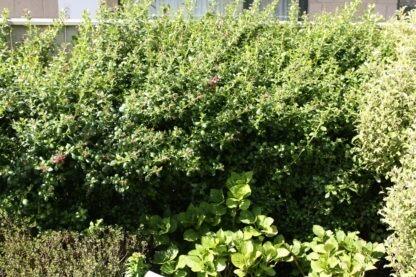 Escallonia Fields scarlet