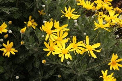 Euryops pectinatus 'Little Sunray'