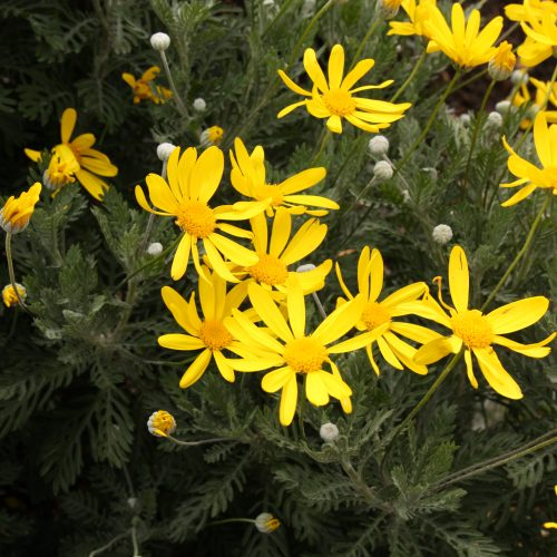 Euryops pectinatus 'Little Sunray'