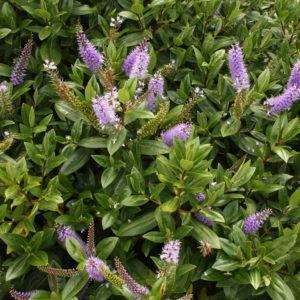 Hebe speciosa 'Purple'