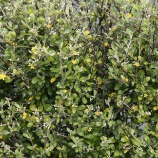Corokia 'Emerald and Jade'