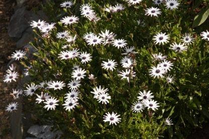 Osteospermum 'Starry Eyes'
