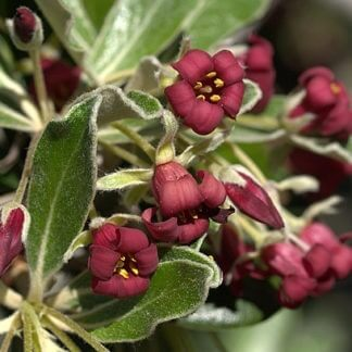 pittosporum crassifolium