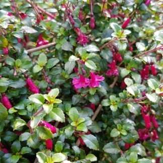 Fuchsia Candy Bells