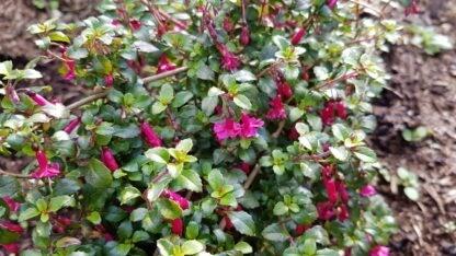 Fuchsia Candy Bells