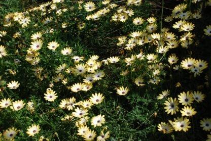Osteospermum-Buttermilk