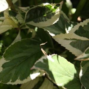 100-141 Hydrangea Variegata