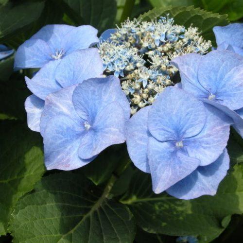 00-144 Hydrangea macrophylla 'Blue Meise'