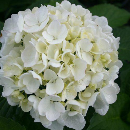 100-145 Hydrangea macrophylla 'Bridal Bouquet'