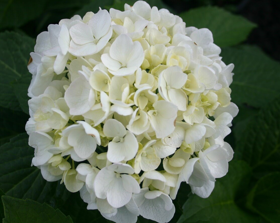 hydrangea macrophylla 39 bridal bouquet 39 maryflower. Black Bedroom Furniture Sets. Home Design Ideas