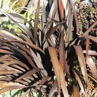 Phormium cookianum 'Purpurea'