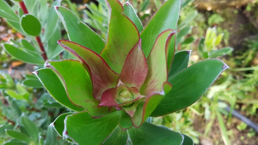Leucadendron waterlilly