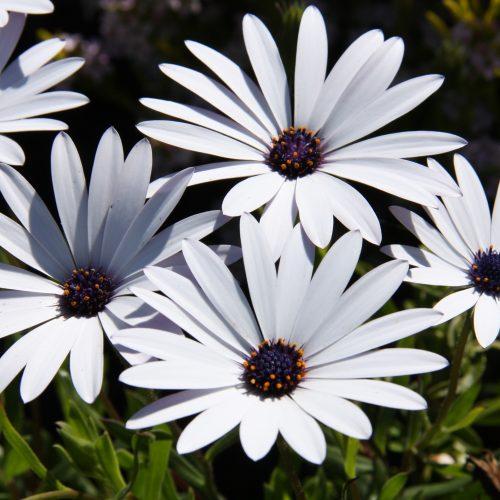 100-163 Osteospermum ice white 1