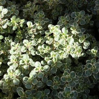 100-164 Thymus cit variegata