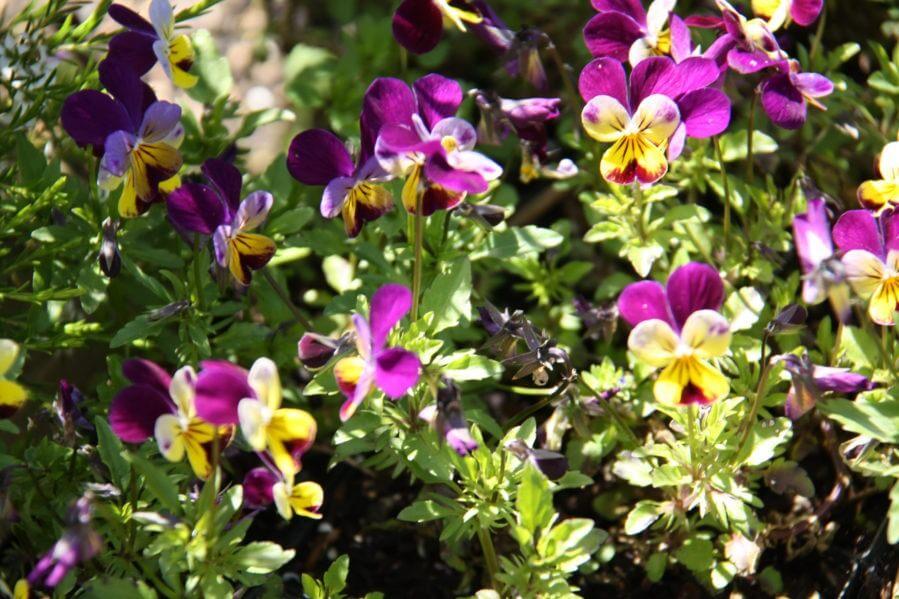100-170 Viola 1-0007