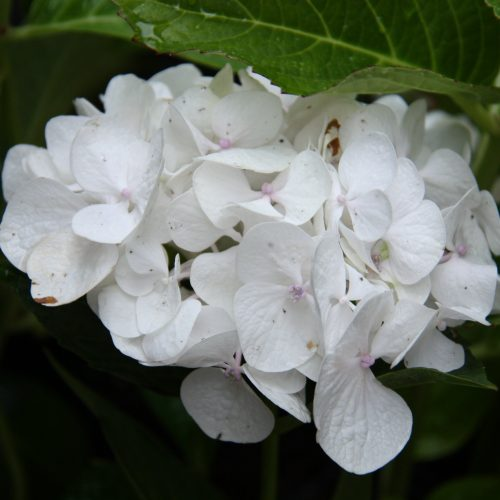 100-188 Hydrangea Macrophylla 'Princess Juliana' 2