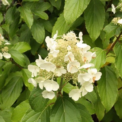 100-189 Hydrangea Paniculata 2