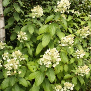 100-189 Hydrangea Paniculata 3