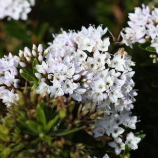 100-348 Hebe Diosmifolia 1