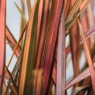 100-351 Phormium Pink Panther