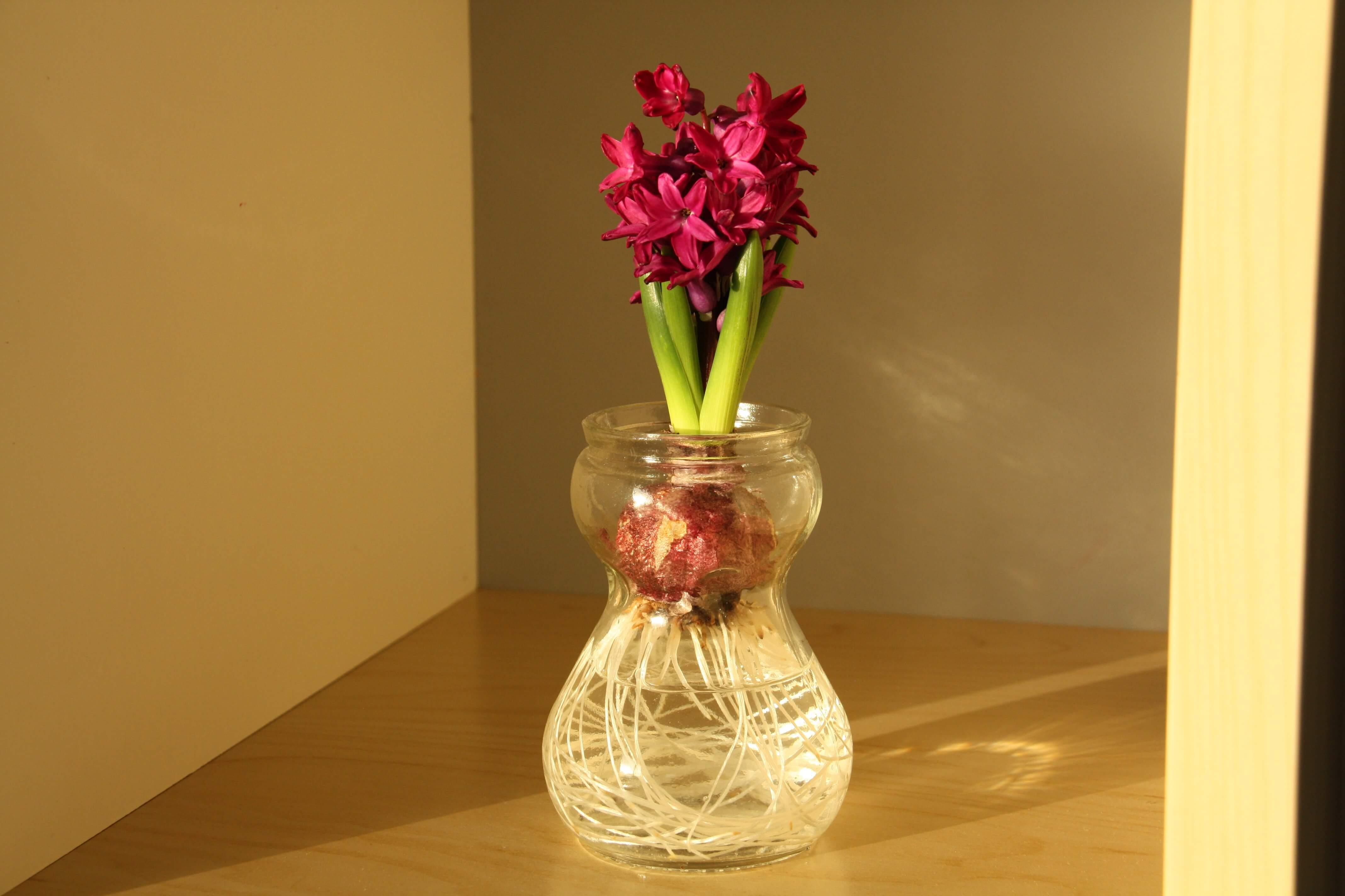 Hyacinth bulb on water.