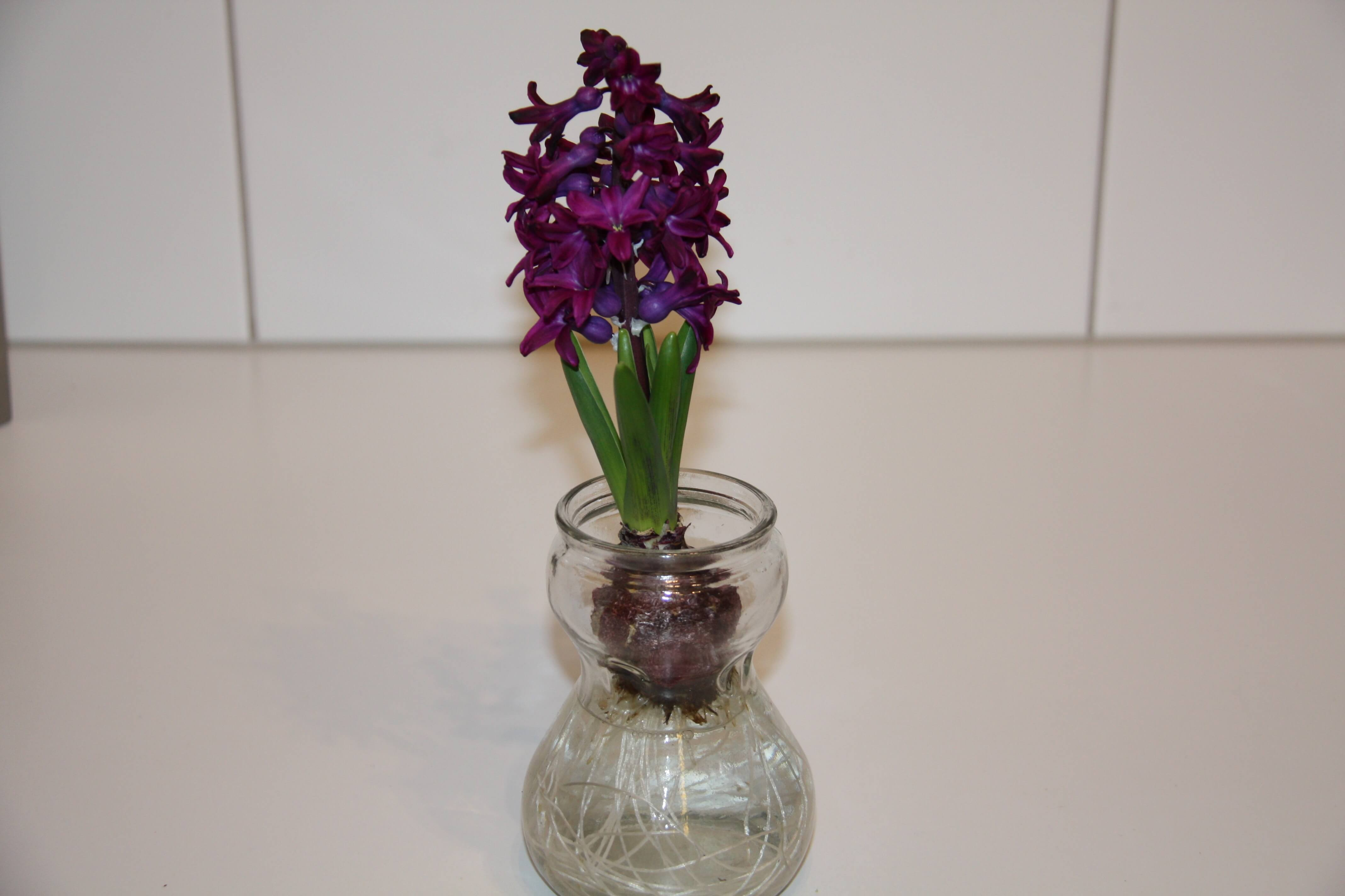 Grow hyacinth bulbs in watermaryflower img6619 reviewsmspy