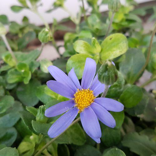 felicia-blue-jay
