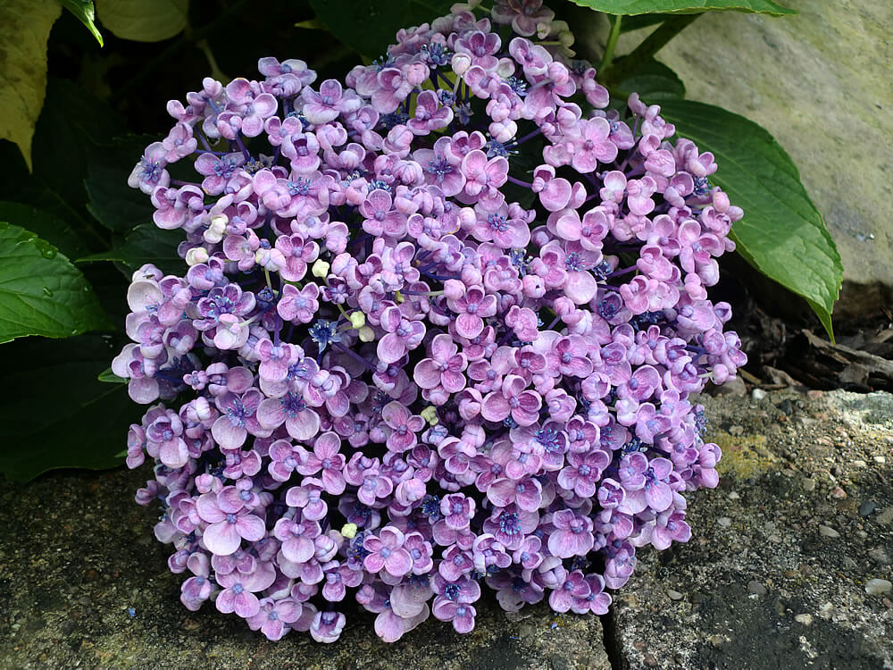 hydrangea macrophylla 39 ayesha 39 maryflower. Black Bedroom Furniture Sets. Home Design Ideas