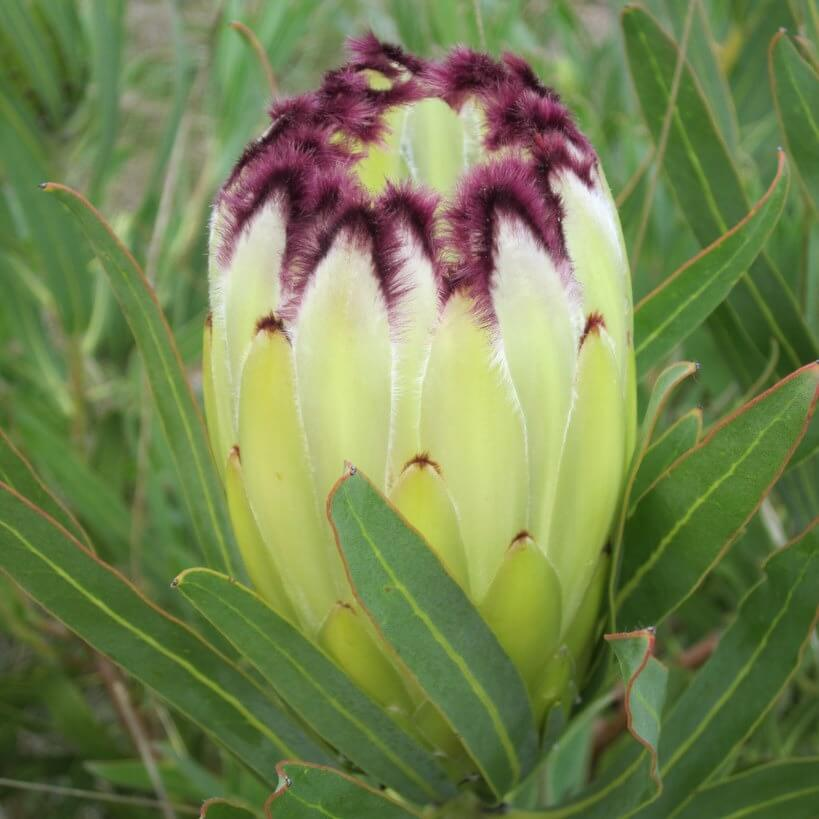 protea lime green