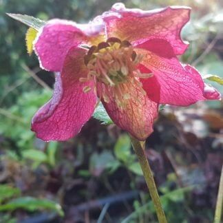 Helleborus English Thorough Bred 1