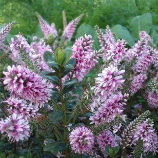 Hebe-garden-beauty