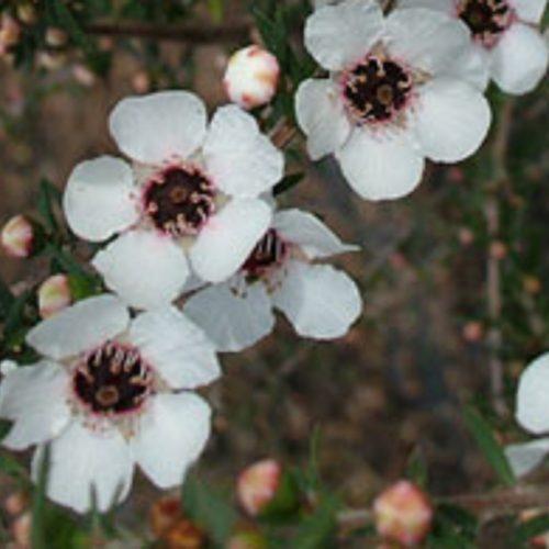 Leptospermum wiri susan