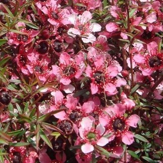 Leptospermum_Pink_Beauty