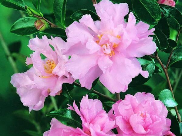 camellia-sasanqua_camellia-paradise-petite