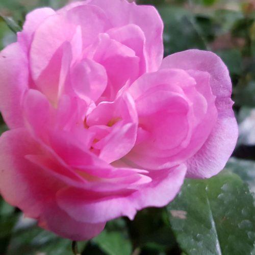 Rosa flower carpet Pink