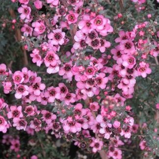 leptospermum-wiri-shelley
