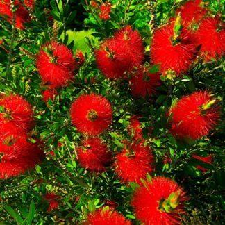 Callistemon red cluster