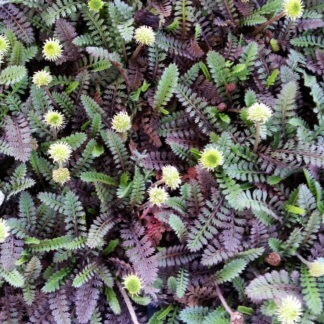 Leptinella Platts black