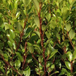 griselinia-canterbury