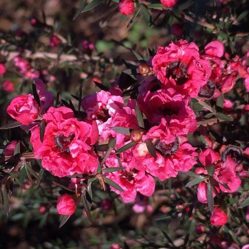 leptospermum blossum queen
