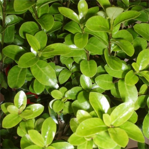 pittosporum mountain green