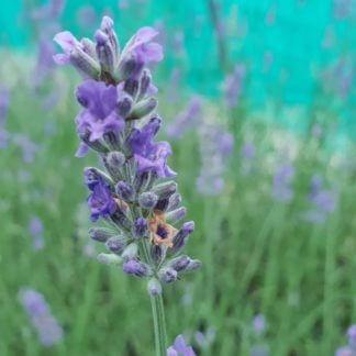 Lavender intermedia grosso