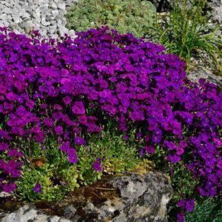 Aubrieta purple cascade 1