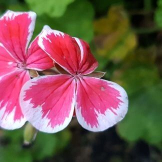 pelargonium mr wren