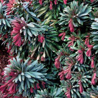 Euphorbia Jade Dragon