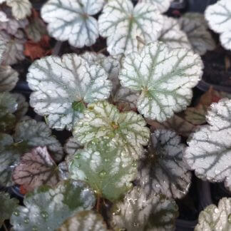 Heuchera Prince of Silver