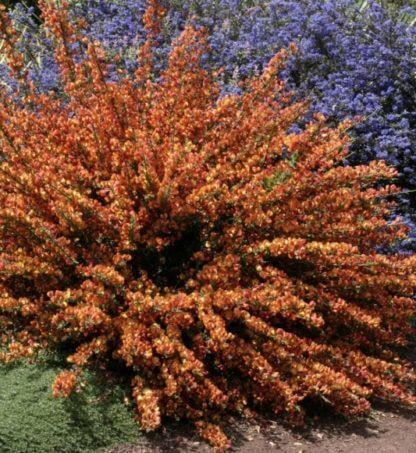 cytisus vulcano